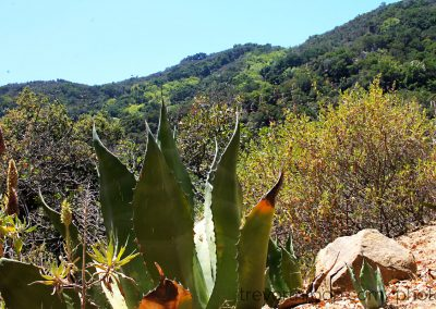 Histogram shot of some agave and the hillside.