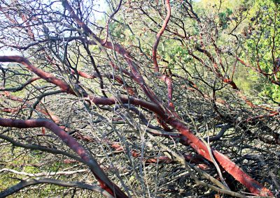 Manzanita tree, we used to call them chocolate trees as kids.